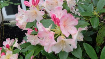 Rhododendrons - pink and white.