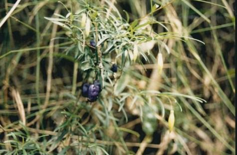 Billardiera longifolia - Purple Apple-berry