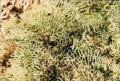 Gleichenia microphylla - Scrambling Coral-fern