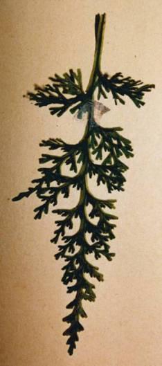 hymenophyllum australe Austral Filmy Fern