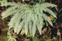 Sticherus lobatus - Spreading Fan-fern