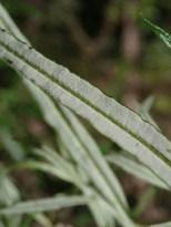 Ozothamnus ferrugineus - Tree Everlasting