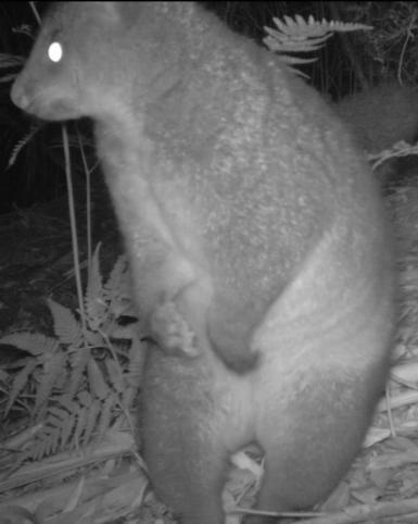 Possum on Hind Legs