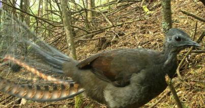 Superb Lyrebird 2