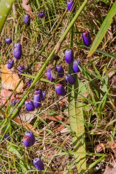 Dianella tasmanica - Tasman Flax-lily