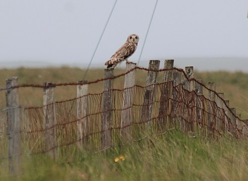 Short haired owl on north uist