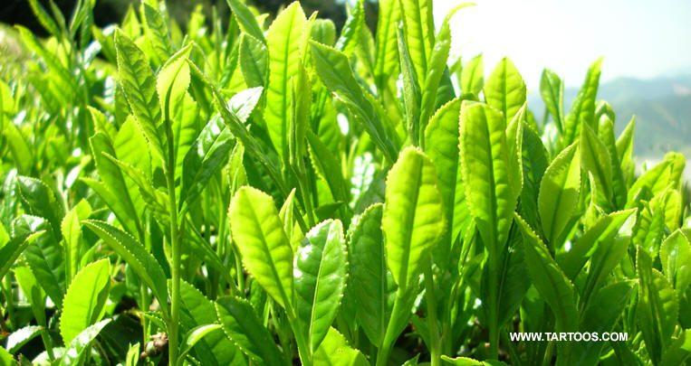 الشاي الأخضر يساعد في تخفيف الوزن