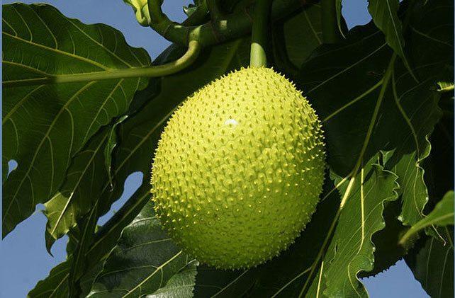 فاكهة الخبز.. ثمرة سحرية على موائد الجائعين