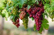 تعرف على فوائد بذور العنب