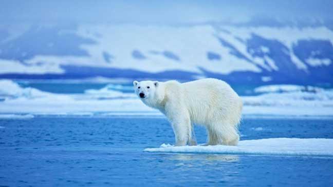 دببة القطب الشمالي تستخدم ثلاجات طبيعية لحفظ اللحوم