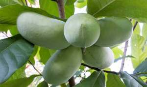 ثمار الباوباو تساعد على مكافحة الأورام الخبيثة