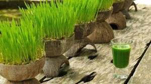 عصير أوراق القمح الخضراء