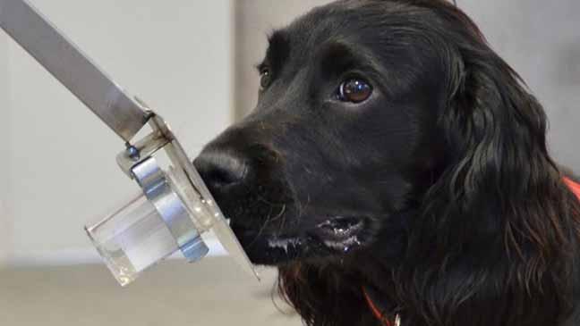 الكلب قادر على الكشف عن سرطان البروستاتا لدى الإنسان