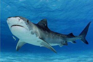 أسماك القرش في طريقها للانقراض بالمتوسط