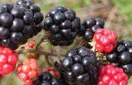 عصير التوت البري أفضل من اللبن للوقاية من التهابات القناة البولية