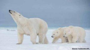 حقائق قد لا تعرفها عن الدبّ القطبي