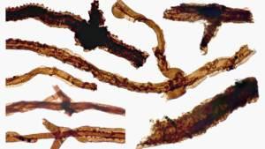 العلماء يكتشفون مستحجرات فطر غريب هو أقدم كائن على وجه الأرض