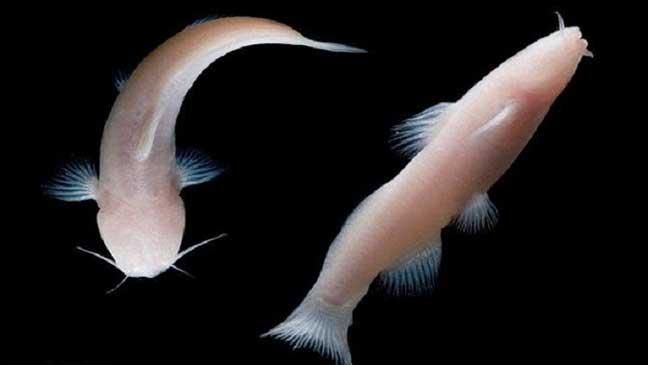 العثور على أسماك نادرة بلا عيون في تكساس