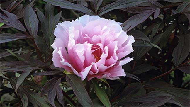 علماء يكتشفون دواء للسرطان في الزهور