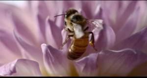 تقلص أعداد النحل يهدد البشرية بالموت جوعا