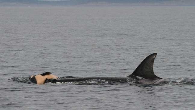 العلماء يكتشفون كيف تقيم الحيتان والدلافين الحداد والجنازات