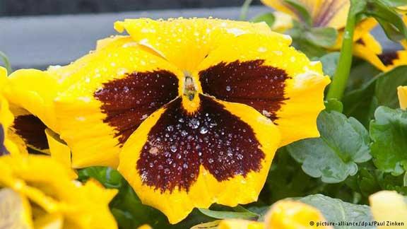 زهرة الثالوث