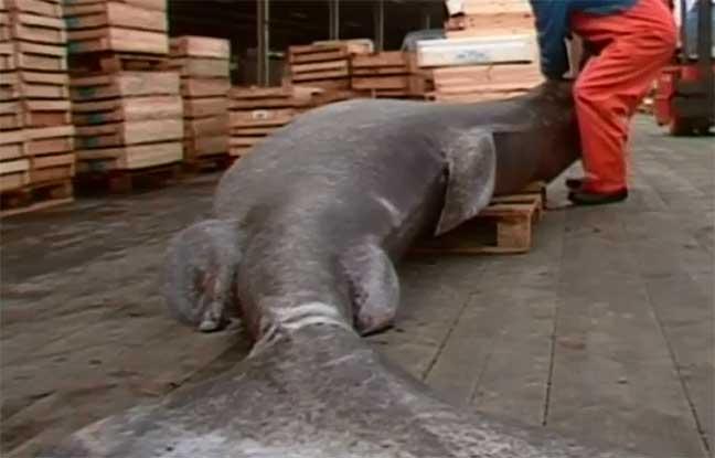 سمك القرش الجليدي يعيش أكثر من 400 عام