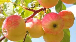 التفاح يقي من السرطان