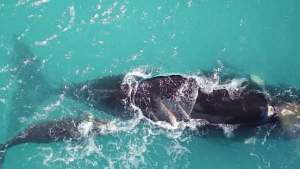 طائرات دون طيار لإنقاذ الحيتان من الانقراض