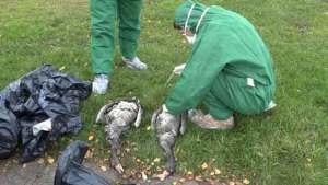 هل يشكل مرض أنفلونزا الطيور خطرا على البشر؟