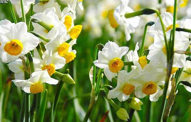 أزهار النرجس البري