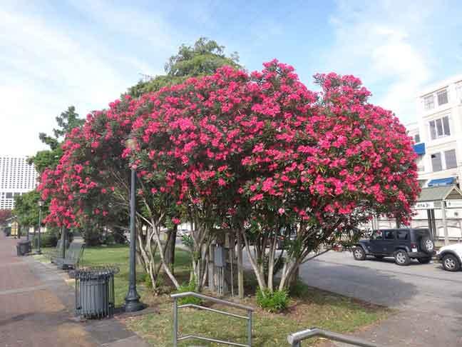 شجرة الدفلى Oleander tree