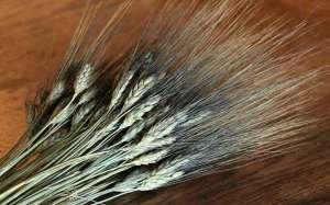 حبوب الحنطة مفيدة لمرضى السكري