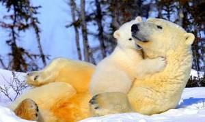 ثلث الدببة القطبية مهددة بالإنقراض خلال العقود القادمة