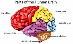 الجوع يساعد على إعادة ترتيب عمل الدماغ