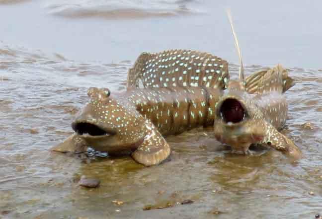 سمكة نطّاط الطين