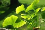 خلاصة عشبة الجينكغو