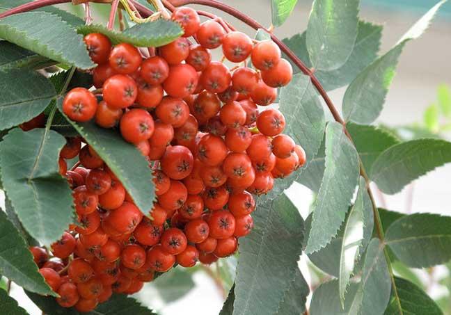 فاكهة الآسه  Ash fruit