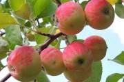 فوائد مدهشة للتفاح ستجعلك تتناوله يومياً