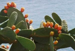 التين الشوكي أو الصبار... صيدلية الصحراء المتكاملة