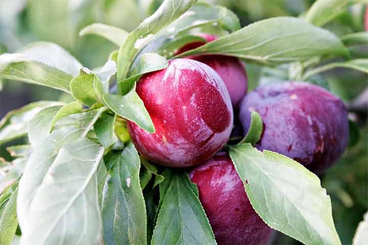 البرقوق أو الخوخ فاكهة للصحة والجمال