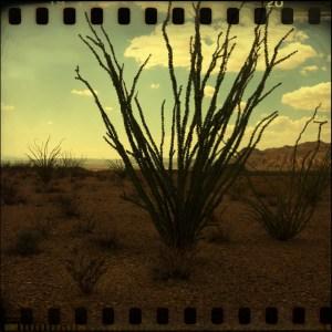 Ocatillo cactus. Big Bend.