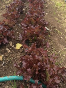 Some lovely red lettuce.