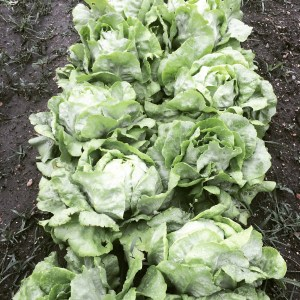 Butter lettuce in the field