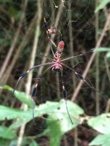 The Golden Orb Weaver. This is the fame; the males are smaller and duller in color.