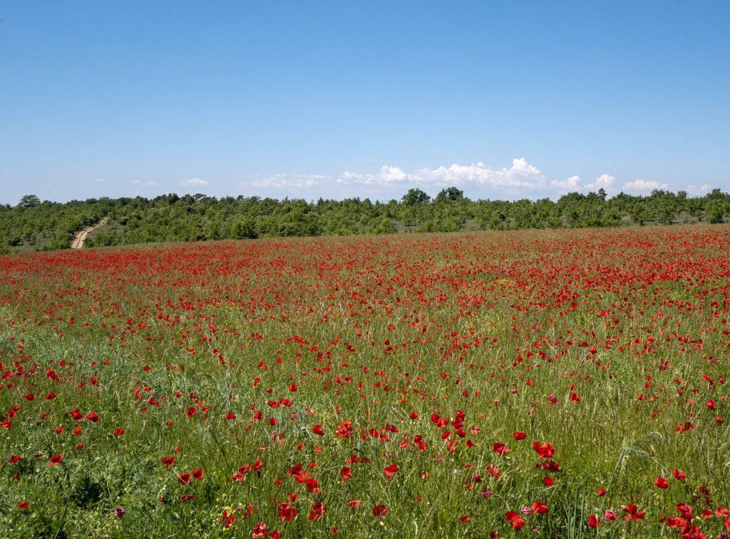 Magnifique champ de coquelicots sur la route du retour ;)