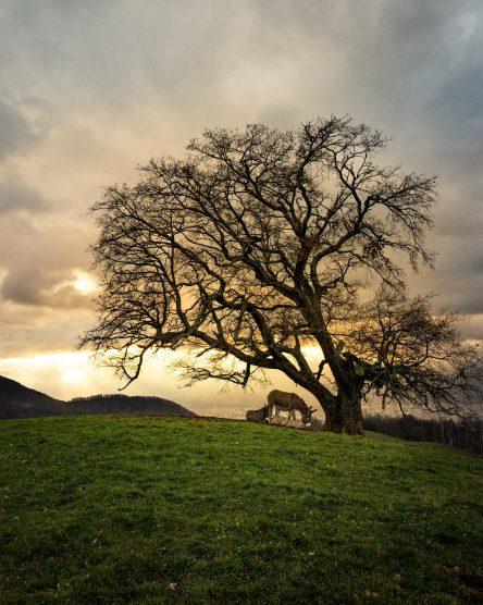 Coucher de soleil et Grenoble dans le fond avec l'arbre de Venon au premier plan