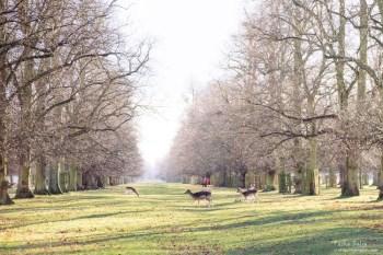 英國自由行丨漢普敦宮景點、Bushy Park灌木公園.與野生鹿的奇遇