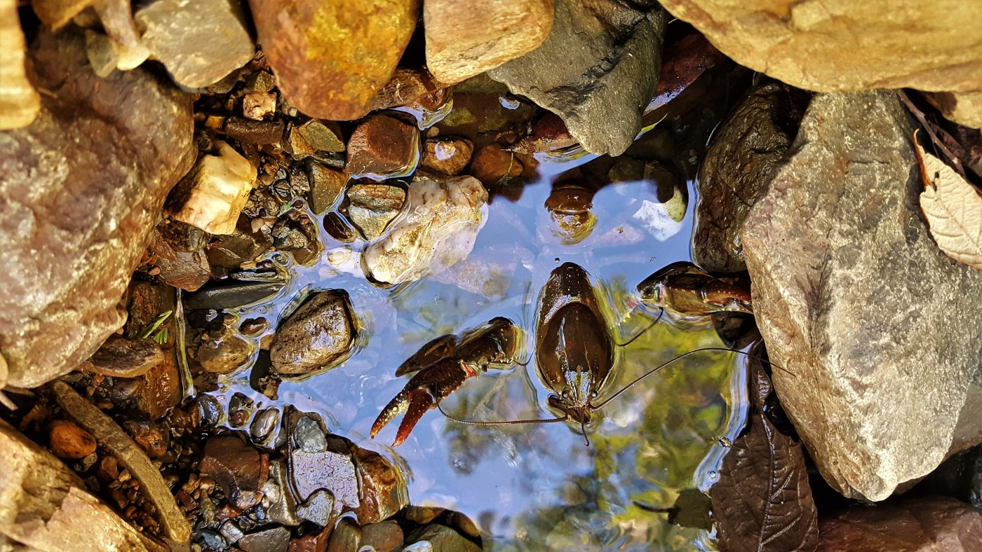 freshwater cray - The Launie Trip