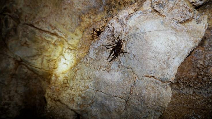 Cave Cricket.JPG